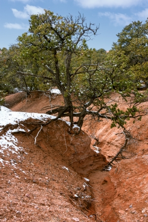 Juniper tree in the desert with some snow left in winter photo