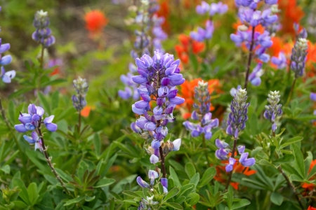 Closeup of a purple silvery lupine with red paintbrush in background