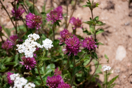 Horizontal shot of Red Clover in bloom Stock Photo - 21946742