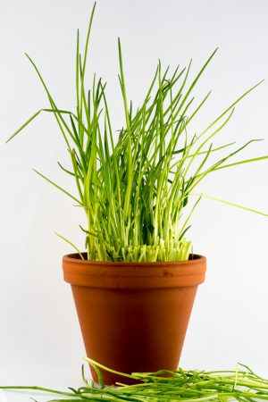 Freshly cut green chives in a flower pot photo