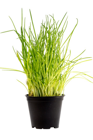 Fresh green chives in a flower pot photo