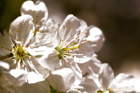Macro shot of cherry blossoms in spring in sepia tone