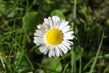 Macro shot of a single daisy bloom in grass with blurred background
