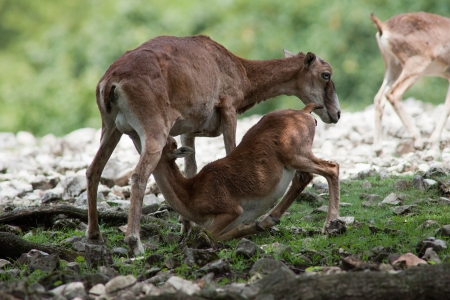 Photo of a young deer sucking milk from mother photo