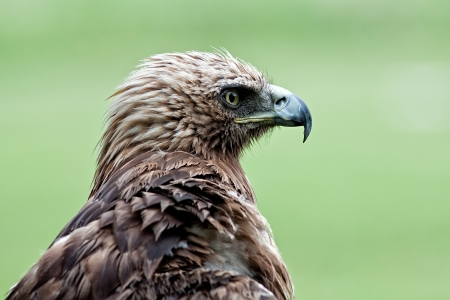 Photo head of a young Imperial Eagle, on a green background