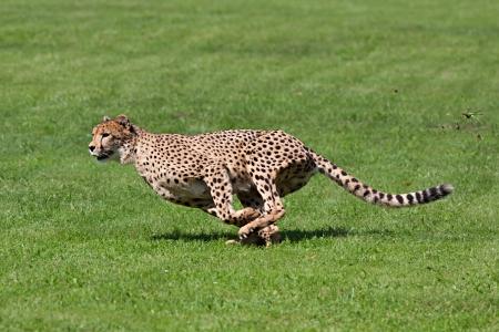 guepardo: Foto guepardo corriendo por el c�sped, mientras se ejecuta arranca pedazos de hierba