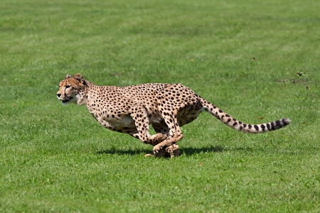 cheetahs: Photo cheetah running across the grass, while running rips up pieces of grass Stock Photo