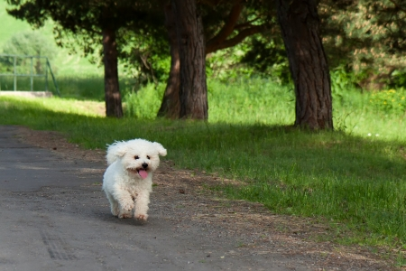 Little White Dog Bichon runs along the forest path between trees Stock Photo