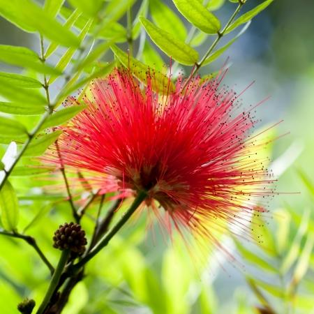 callistemon citrinus: Disheveled red flower on a background of green leaves Stock Photo