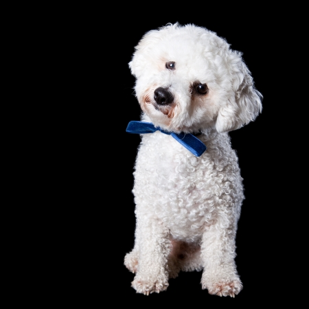 Portrait standing Bichon with blue bow on the neck with head tilted isolated on a black background photo