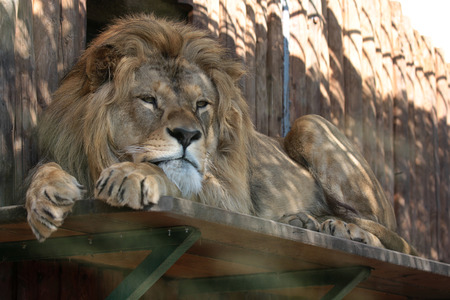 Lion in the zoo lying on the board and looking bored Stock Photo