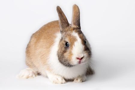 lapin blanc: Petit lapin blanc intérieur vermeil aux yeux bleus Banque d'images