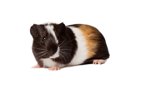 Macro portrait of small colored guinea pig