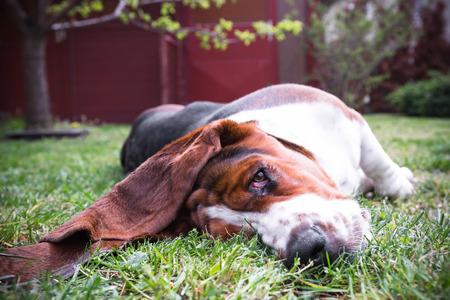 basset: a young basset hound dog
