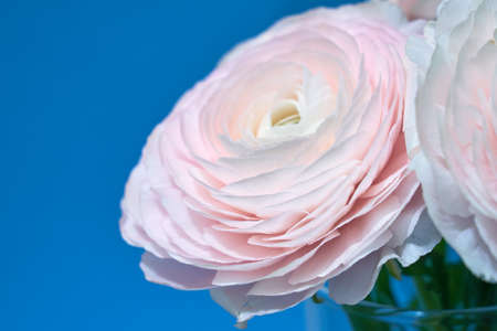 Pink ranunculus in a vase on a sky-blue background. Copy space.