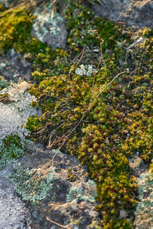 Moss on the slope of a rocky mountain under the melted snow as a natural background .. Stock fotó