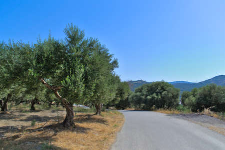 The road along the fields with olive trees on a summer sunny day.