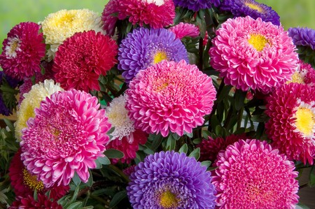 flowers horizontal: A bouquet of fresh asters different colors
