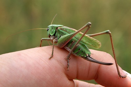 Large green grasshopper sitting on their hands photo