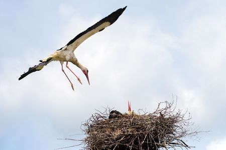 Stork bird return to his nest photo