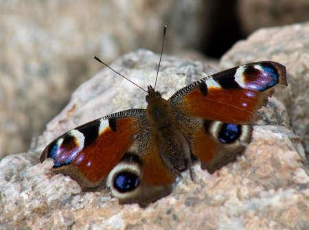 peacock butterfly: Mariposa pavo real sentado en la piedra de granito