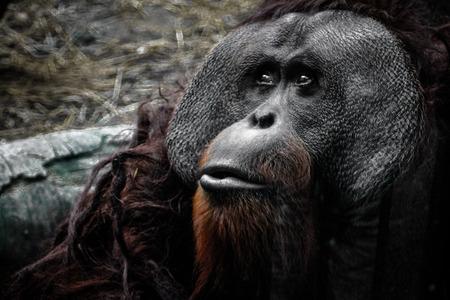 hominid: orangutan guardando a riposo