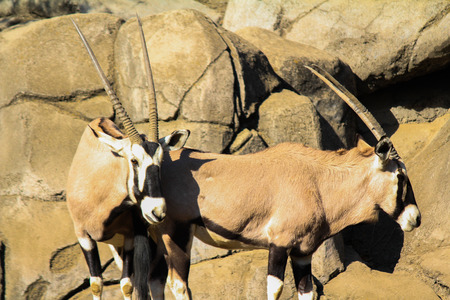 scimitar: Two Scimitar Horned Oryx Antelopes