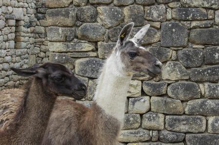 Natural llamas on the Machu Pichuu ruins Cuzco, Peru