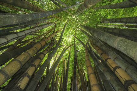 The infinity green of a bamboo forest in Brazil.