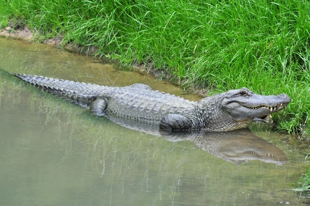 A alligator is laying in the water by the grass.