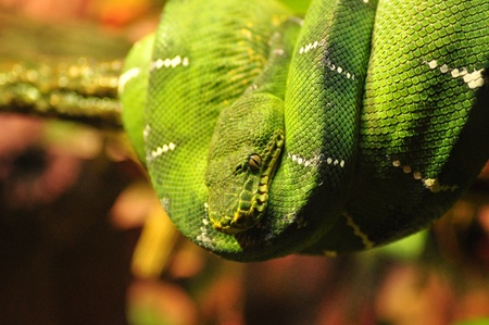 A emerald tree boa from South America is coiled upona branch in its pen Stock Photo