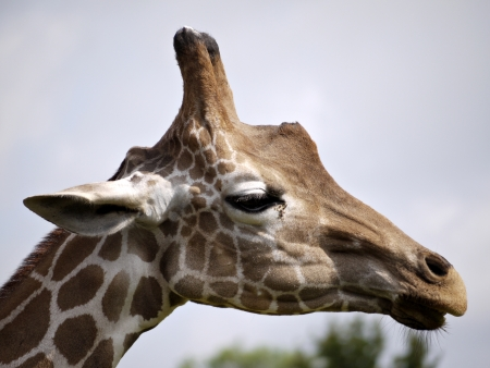 A portrait image of a giraffe. Stock Photo