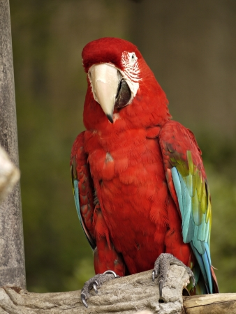 green winged macaw: A green winged macaw sits on a perch. Stock Photo