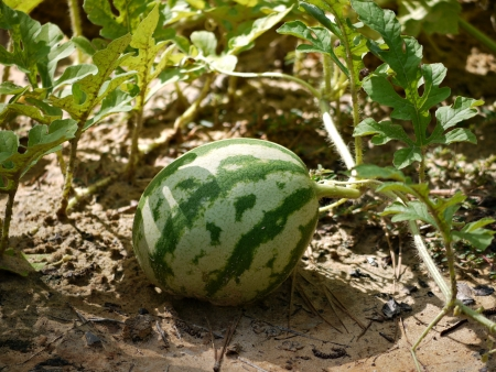 matures: A watermelon on the vine  matures in the garden  Stock Photo