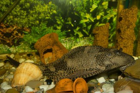 warm water fish: plecostomus II Stock Photo