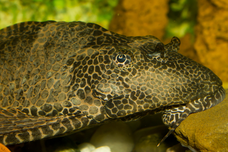 warm water fish: plecostomus IV