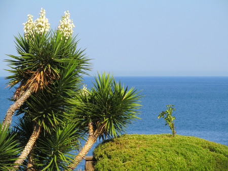 yucca: Yucca against the sea