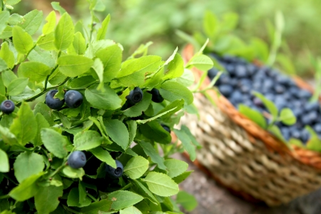 blueberry bush and basket with fresh blueberries   Imagens
