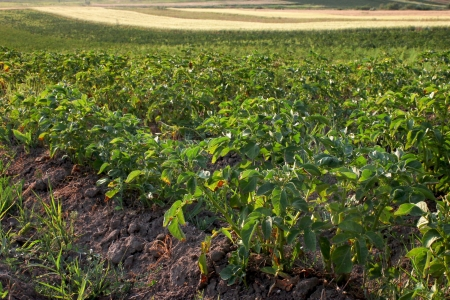 potatoes plantation heated by the sun, organic and healthy legume photo