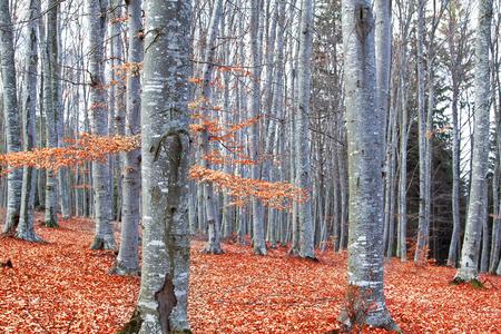 Mooie herfst bos met Beuken (Fagus sylvatica) en gedroogde bladeren
