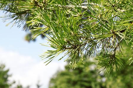 pinus sylvestris: Branch of Pine Tree