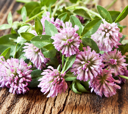 trifolium: Trifolium pratense,Red Clover Flowers on Wooden Table