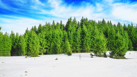 Fresh Spring Forest Scene with Fir Trees and Beautiful Sky photo