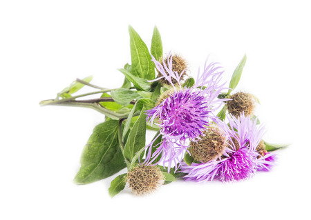 vulgare: Spear Thistle (Cirsium vulgare) medicinal plant isolated on white Stock Photo