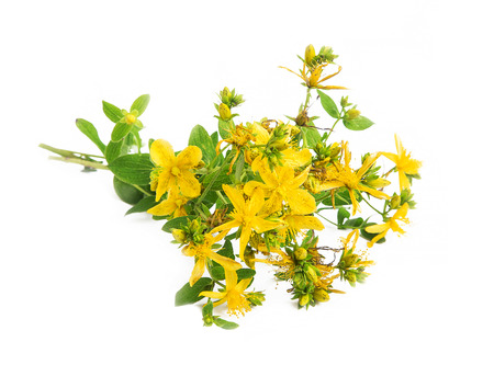 wort: St Johns wort medicinal plant isolated on white Stock Photo