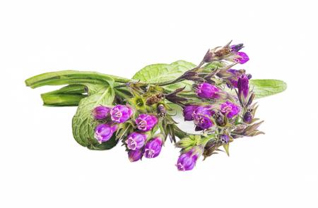 Symphytum plant.Comfrey medicinal plant isolated Фото со стока