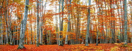 Autumn beech forest landscape with red and yellow leaves Standard-Bild