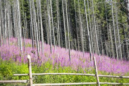 Beautiful beech trees forest with purple wild flowers landscape