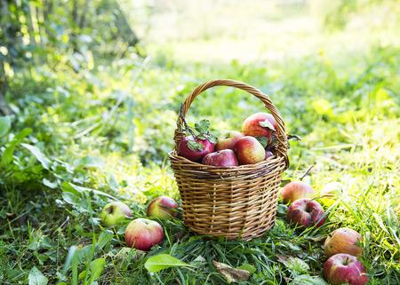 apples basket: Ripe organic healthy apples basket outside in the garden Stock Photo