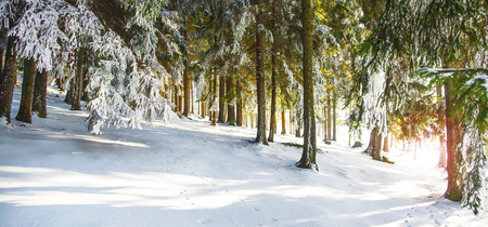 Winter forest landscape with frosty and snowy pine trees Stock Photo